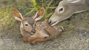 Mule deer fawn is born, illustration by Paul Mirocha