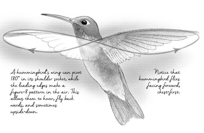 hummingbird drawing by Paul Mirocha