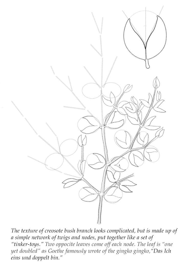 creosote bush drawingh