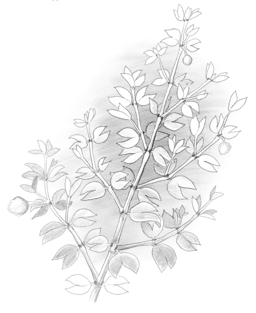 Creosote bush drawing byb Paul Mirocha
