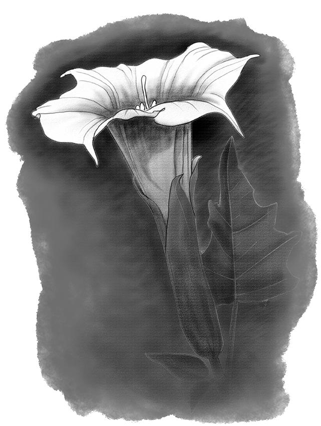 Datura flower drawing by Paul Mirocha
