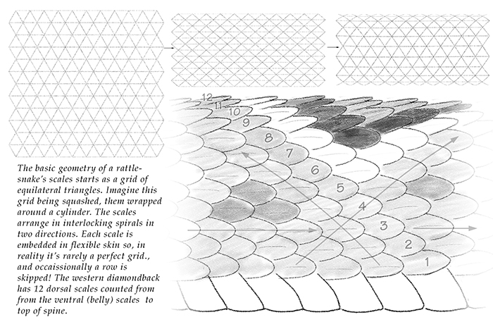 rattlesnake scales drawing by Paul Mirocha