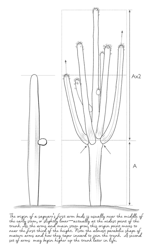saguaro drawing by Paul Mirocha