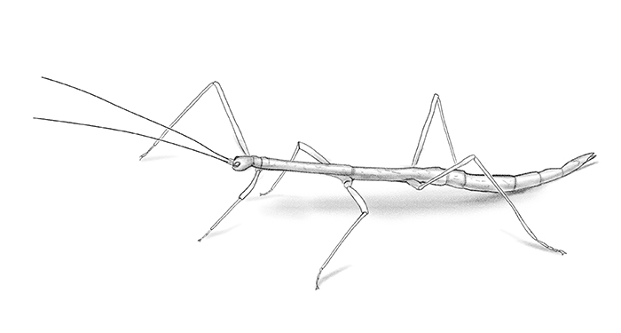 walking stick drawing by Paul Mirocha